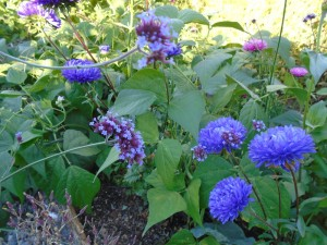 asters sept