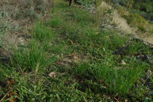 Creating a drought tolerant lawn