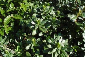 Ground cover plants – euphorbia