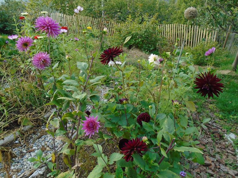 last dahlias garden