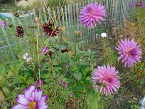 last dahlias garden1