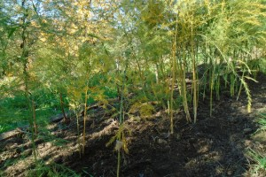Preparing the asparagus bed for winter