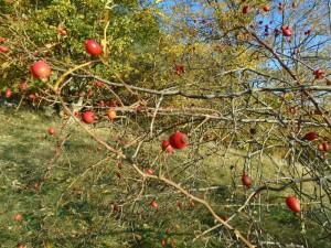 rose hip bush 1
