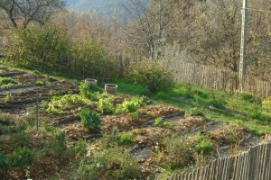 Putting the potager to bed part two