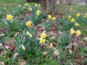 daffodildetails