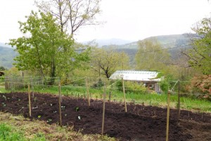 Creating a brassica bed