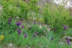 Iris colours