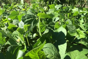 Dwarf French bean harvesting