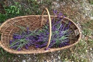 Lavender and St John's wort harvesting
