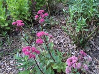 Early flowering sedum