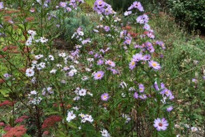 Later flowering asters