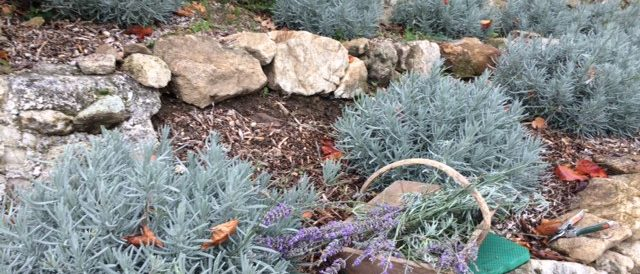 Autumn pruning lavender