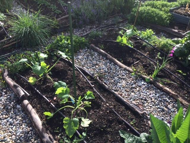 auberginesplanted