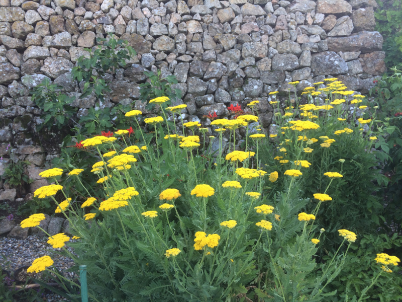 flowersachillea