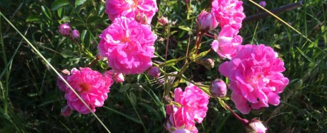 Roses in the rural garden