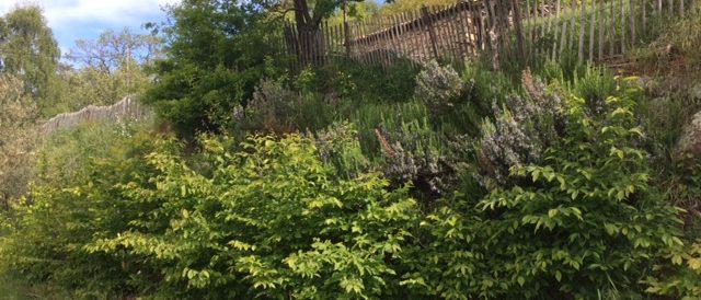 Hornbeam hedges