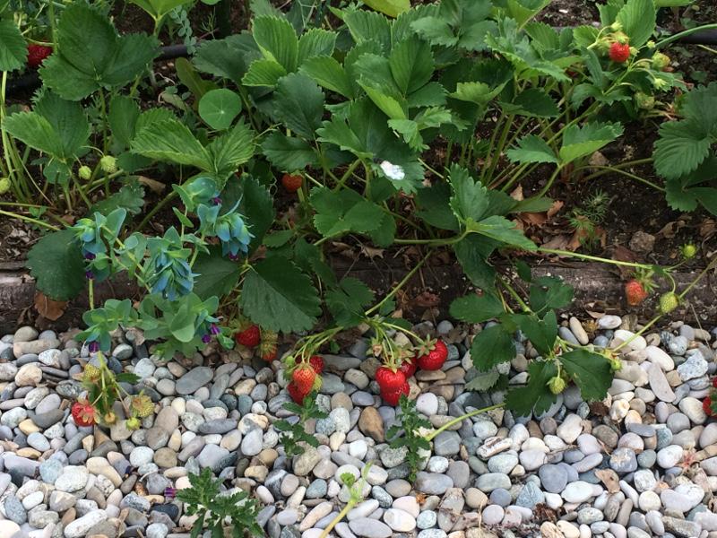 strawberriesonpath