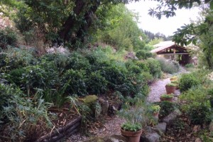 Dry shade shrubs in drought