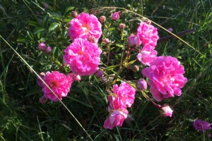 Rambling rose maintenance
