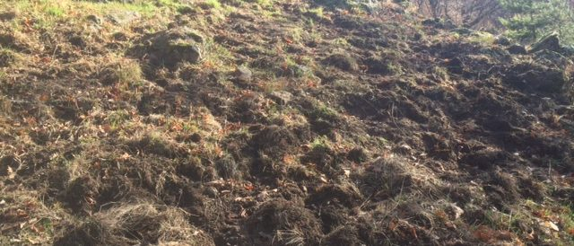 More wild boar landscaping