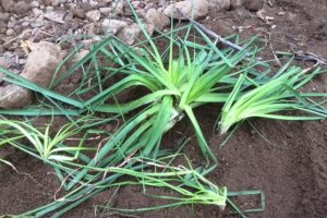 Transplanting perennials in winter