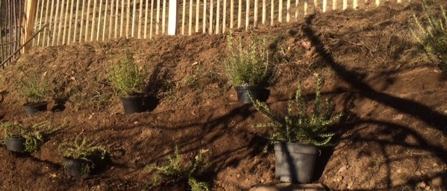 Shrub planting in winter