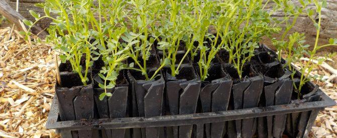 Growing chick peas