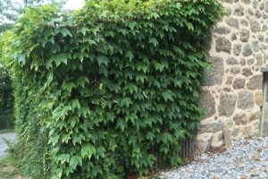 Taming Virginia Creeper