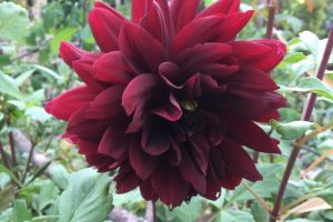 Dahlias and damage