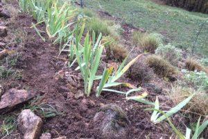 Transplanting irises