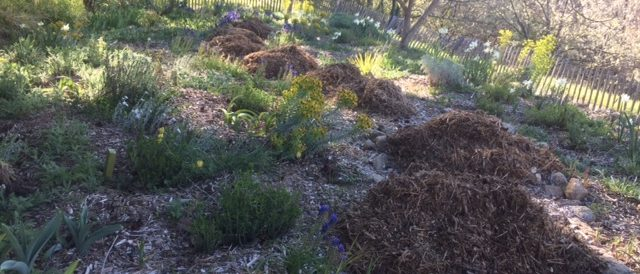 Mulching the dry garden