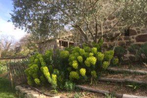 Self-seeding euphorbias in spring