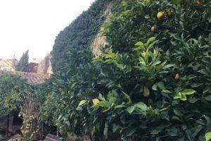Orange trees and stone walls