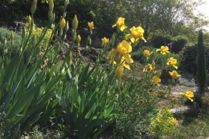 Landscaping with irises