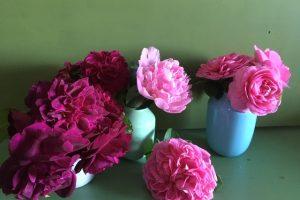 Moving established roses