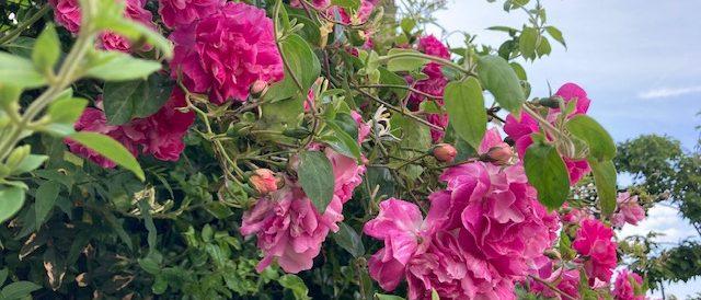 June roses
