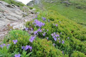 High Alpine botanising