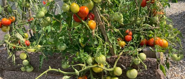 Tomatoes in a permaculture bed