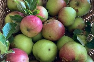 Apple gluts